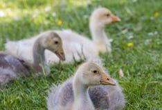 White goose; gosling; Anser anser domesticus,. White goose; gosling; Anser anser domesticus in grass royalty free stock photo