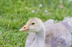 White goose; gosling; Anser anser domesticus,. White goose; gosling; Anser anser domesticus in grass stock image