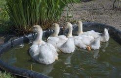 White goose; gosling; Anser anser domesticus,. White goose; gosling; Anser anser domesticus in water royalty free stock image