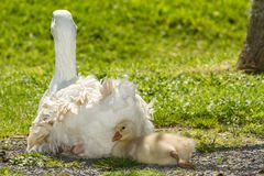 White goose and gosling -- `feather pillow`. A white goose and her gosling rest in a field on a bright sunny day, the youngster using his mom`s feathers as a stock photography