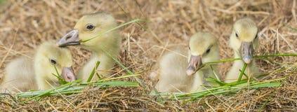 White goose; goslings. Anser anser domesticus stock photo