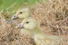 White goose; goslings. White goose; gosling; Anser anser domesticus stock photos