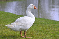 White goose on grass. White domestic goose (Anser anser domesticus) on grass near of pond stock photography