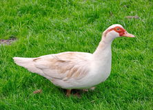 White goose in the grass Royalty Free Stock Photography