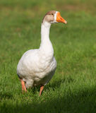 White goose on grass. White goose on a farm close up royalty free stock photos