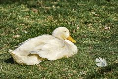 Goose on the Grass stock photography