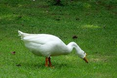 A white goose. On the grass Stock Image
