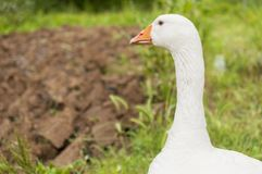 White goose in the grass. With copy space royalty free stock photo