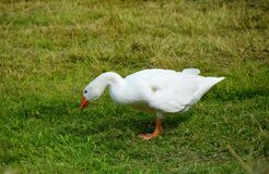 White Goose on Green Grass Field during Daytime Royalty Free Stock Photo