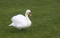 A white goose on green grass Stock Photos