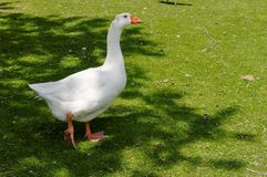 White goose on green grass. Background royalty free stock image