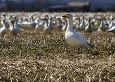 White goose in a group Stock Image