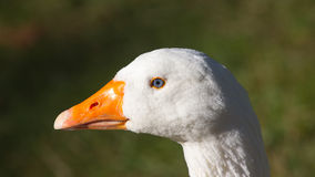 White goose head Royalty Free Stock Image