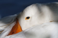 White goose head close-up. On a background of blue water royalty free stock image