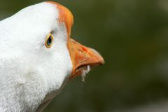 White goose head, rear view. royalty free stock images