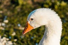 White goose head. Bird animal stock image