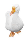White goose. Image of a white goose isolated on a white background stock image