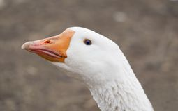 White goose isolated. Close up of white goose royalty free stock images