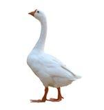White goose. Isolated on white background royalty free stock image