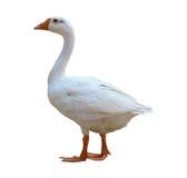 White goose. Isolated on white background royalty free stock images