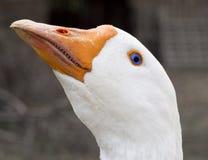 White goose isolated. Close up of white goose isolated stock image