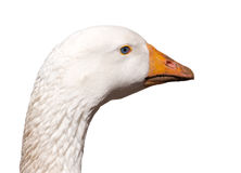 White goose isolated Stock Photography