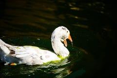 White goose in lake. Cute, agriculture, animal, avian, background, beak, beautiful, bird, blue, closeup, domestic, farm, feather, fuji, head, mount, nature stock image