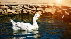 White goose in lake. Cute, agriculture, animal, avian, background, beak, beautiful, bird, blue, closeup, domestic, farm, feather, fuji, head, mount, nature royalty free stock images