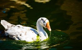 White goose in lake. Cute, agriculture, animal, avian, background, beak, beautiful, bird, blue, closeup, domestic, farm, feather, fuji, head, mount, nature stock photo