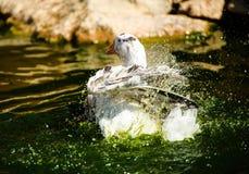 White goose in lake. Cute, agriculture, animal, avian, background, beak, beautiful, bird, blue, closeup, domestic, farm, feather, fuji, head, mount, nature stock photos