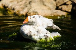 White goose in lake. Cute, agriculture, animal, avian, background, beak, beautiful, bird, blue, closeup, domestic, farm, feather, fuji, head, mount, nature royalty free stock image