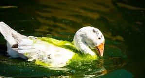 White goose in lake. Cute, agriculture, animal, avian, background, beak, beautiful, bird, blue, closeup, domestic, farm, feather, fuji, head, mount, nature royalty free stock photos