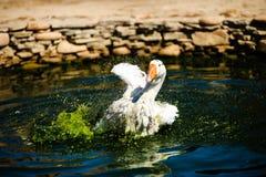 White goose in lake. Cute, agriculture, animal, avian, background, beak, beautiful, bird, blue, closeup, domestic, farm, feather, fuji, head, mount, nature stock images