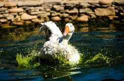 White goose in lake. Cute, agriculture, animal, avian, background, beak, beautiful, bird, blue, closeup, domestic, farm, feather, fuji, head, mount, nature royalty free stock photography