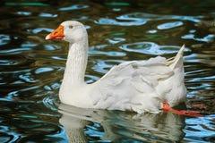 White Goose on Lake. White Goose on the Lake stock photography