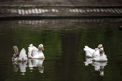 White goose. White goose on a lake in Bucharest, Romania Stock Photo