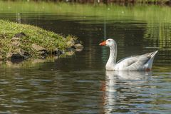 White goose on lake stock photo