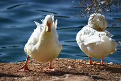 White goose at the lakeside. White goose at the side of a lake at the sunset Royalty Free Stock Photo