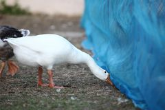 White goose look food under net in garden. White goose look food under net in garden royalty free stock images