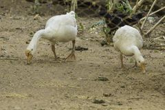 White goose. White male and female geese are looking for food on the field anatidae chinese poultry agriculture animal background beautiful bird closeup cute royalty free stock images
