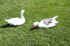 White goose on meadow Royalty Free Stock Images