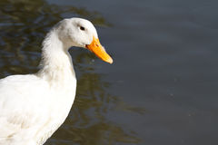 White goose near water. Close-up Stock Images