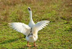 White goose with open wings standing in a meadow. France stock images