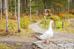 White goose with orange beaks in the park walk in search of food royalty free stock photo