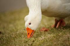 White goose Stock Photography