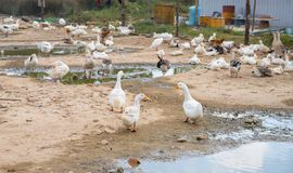 White goose by paddle. Bird farm backyard scene. Flock of white goose resting outdoor. Feather and poultry from farm bird. Cute water fowl with white feather royalty free stock photography