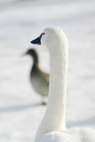 White goose in the park. A white goose in the Rosamond Gifford Zoo Stock Photos