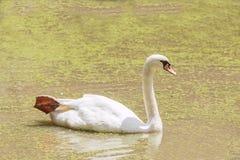 White goose. In pond royalty free stock photos