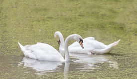 White goose. In pond royalty free stock photography