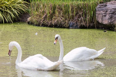 White goose. In pond royalty free stock photo